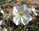 White Stem Evening Primrose — February 2010